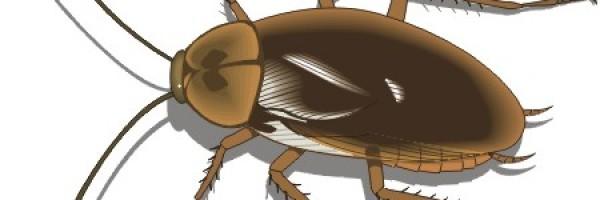 Las cucarachas, una posible fuente de antibióticos