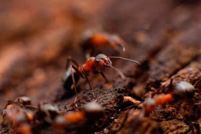 Control de plaga de hormigas