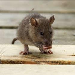 Desratización eliminar roedores