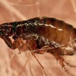 Eliminar pulgas