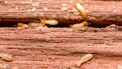 Eliminar termitas en Salamanca