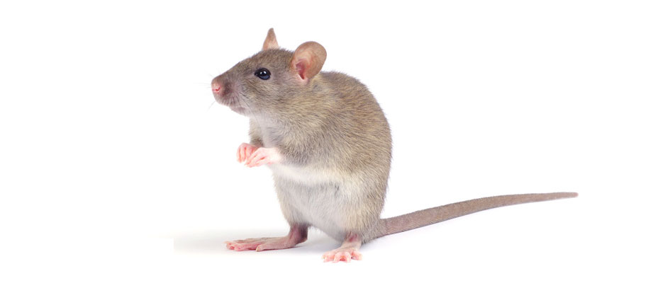 ratón común