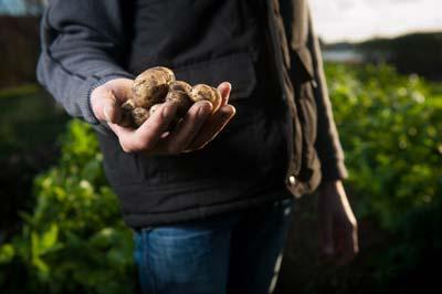 Tratamiento anti germinante de la patata